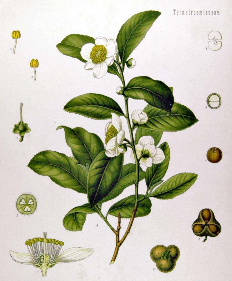 b_1466425098_f1_camelia-sinensis-la-pianta-del-te.jpg